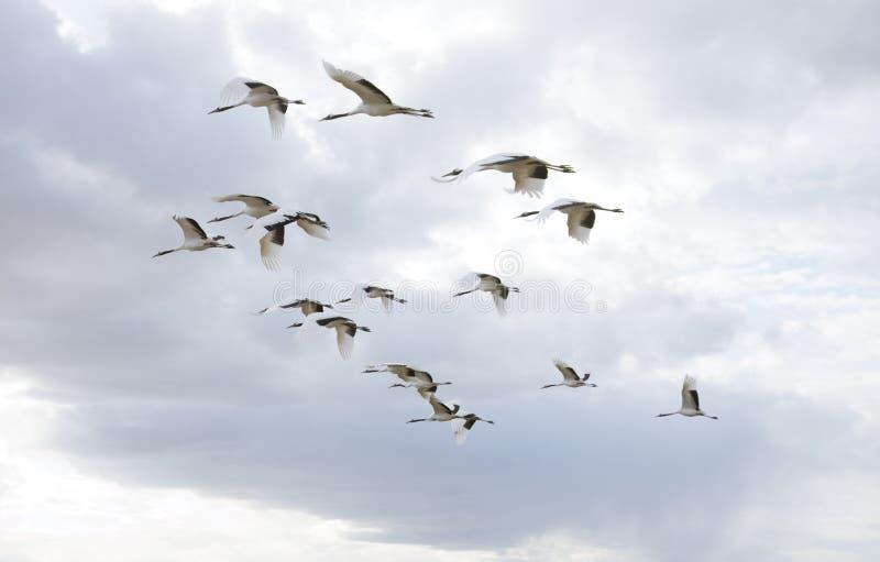 Flying birds. A flock of flying birds stock image