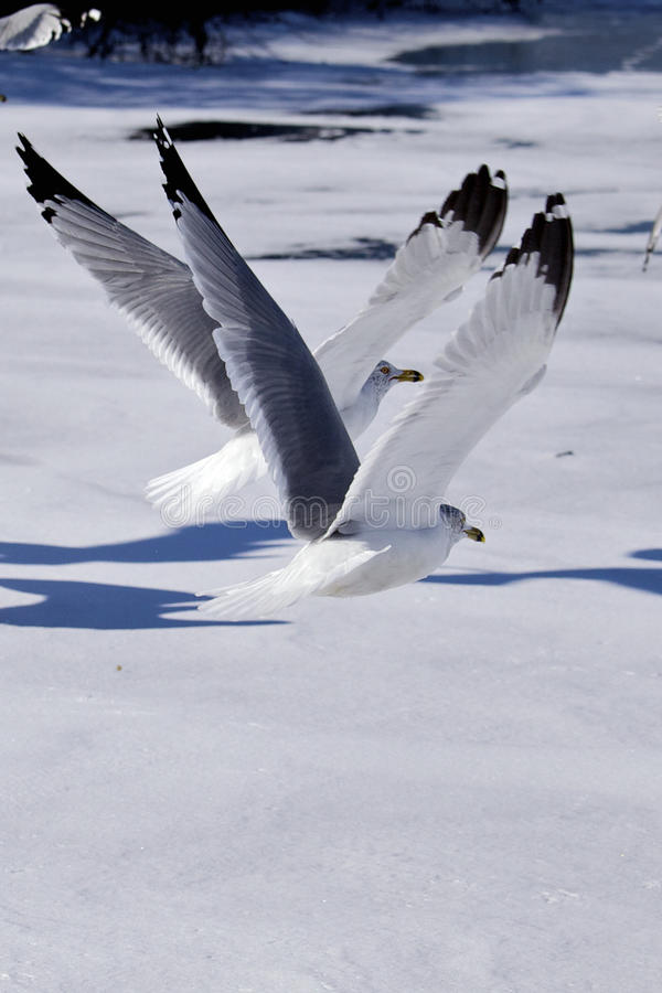 Flying Birds. Seagulls flying over an icy pond, birds in flight over snow, a pair of seagulls i flight royalty free stock photos