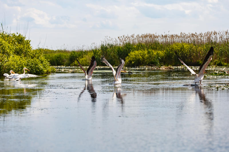 Flying birds and aquatic plants in Danube Delta. Beautiful landscape photo of flying birds and aquatic plants in Danube Delta stock photo