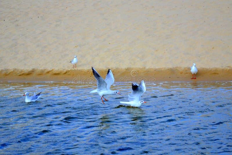 Flying birds beach. Flying birds over beach Bulgaria,Hadjiiska river royalty free stock images
