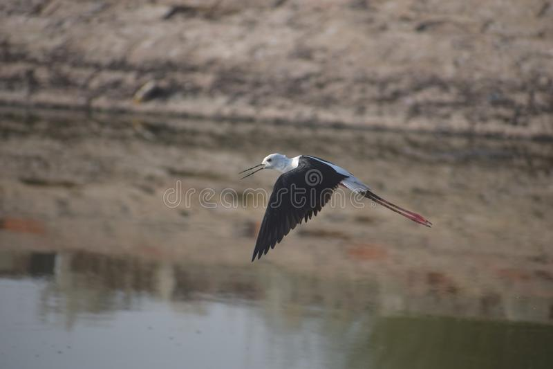 Flying birds. Hotii titis Birds royalty free stock image