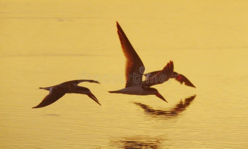 FLYING BIRDS. Beautiful flying birds at sunrise on the beach stock image