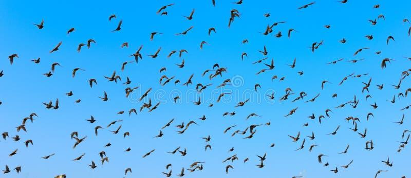 Flying birds. Big flock of flying birds with blue sky stock image