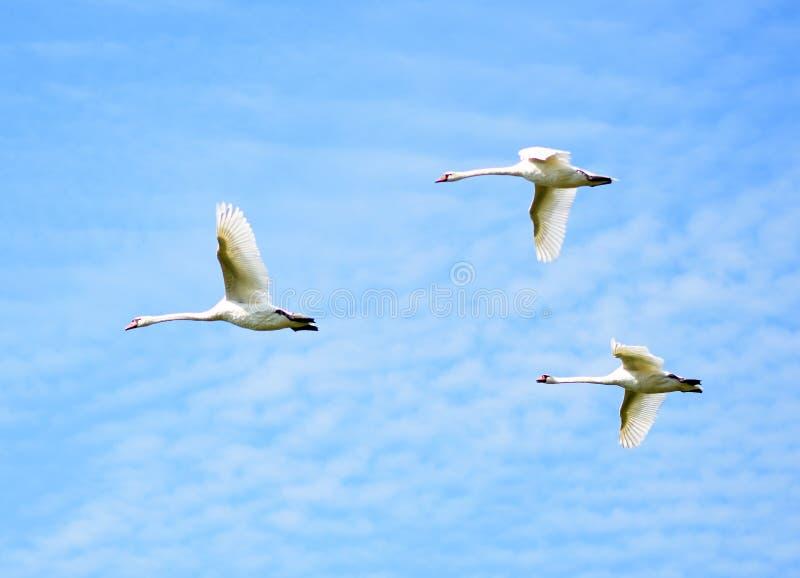 Flying birds in blue sky. Three flying birds on blue sky stock photo