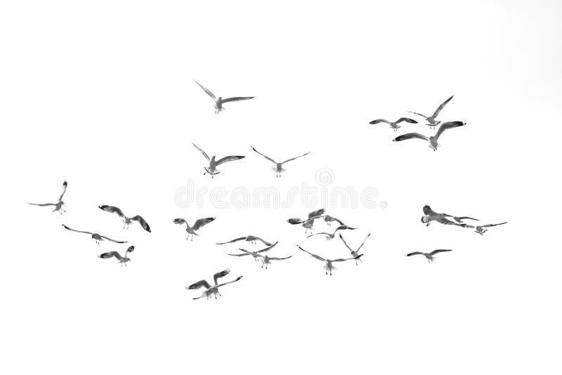 Flying birds, Isolated on white background royalty free stock images