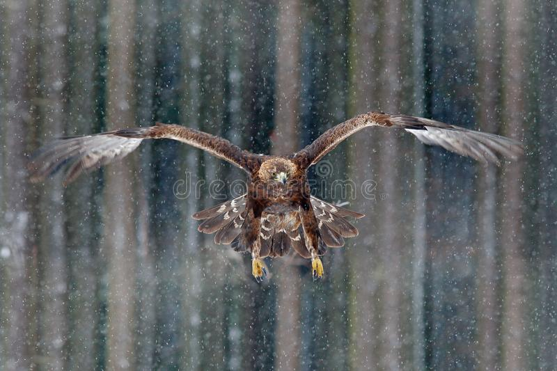 Flying birds of prey golden eagle with large wingspan, photo with snow flake during winter, dark forest in background. Wildlife sc. Flying birds of prey golden royalty free stock photography