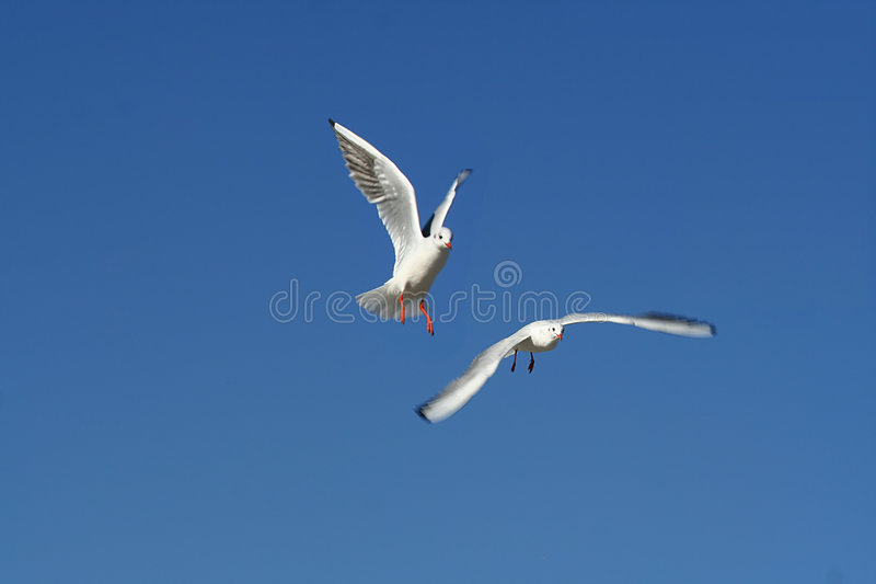 Flying birds / seagulls stock image