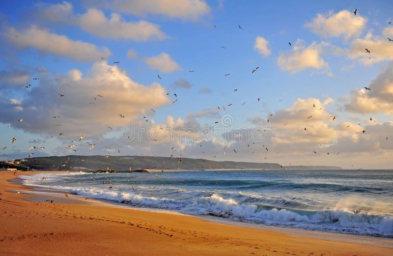Flying birds on sunset, sand beach of Nazare stock photography
