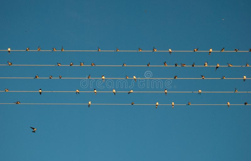 Flying birds. Flying swallows. Swallows sitting on the line. Waiting for other birds. Silhouttes of flying birds royalty free stock photo