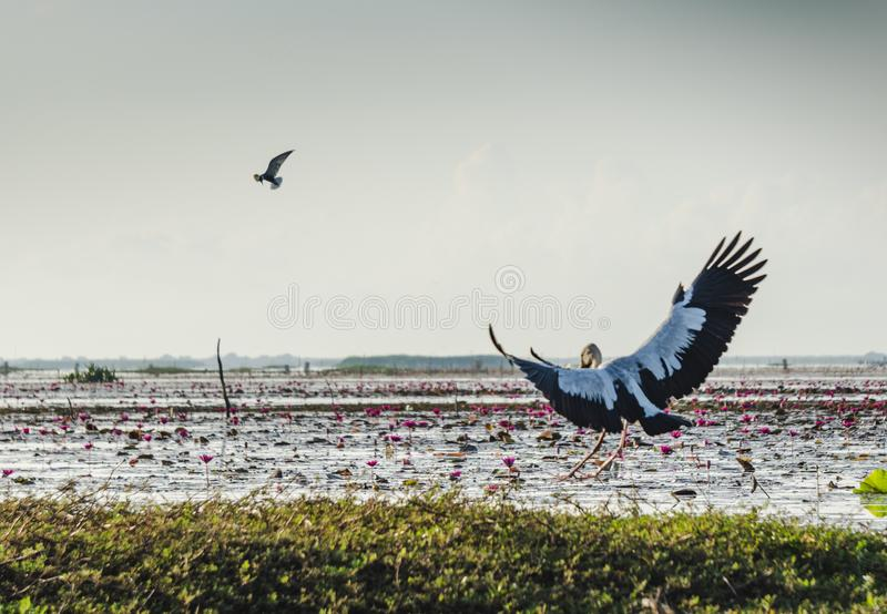 Flying birds at Thalenoi lake Phatthalung , Thailand. Where is the one motto of Phatthalung provice and is afavorite for the tourist royalty free stock images