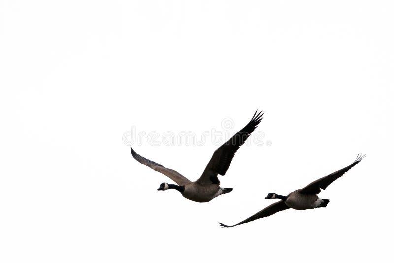 Flying birds for windows. Flying birds on white sky silhouette for windows stock photography