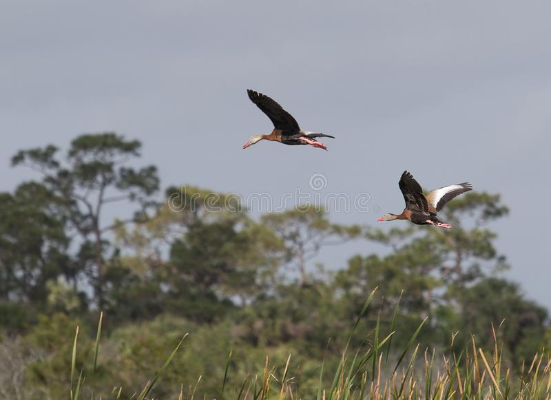 Flying black bellied whistling ducks. Over Florida wetlands against blue skies on sunny day stock photos