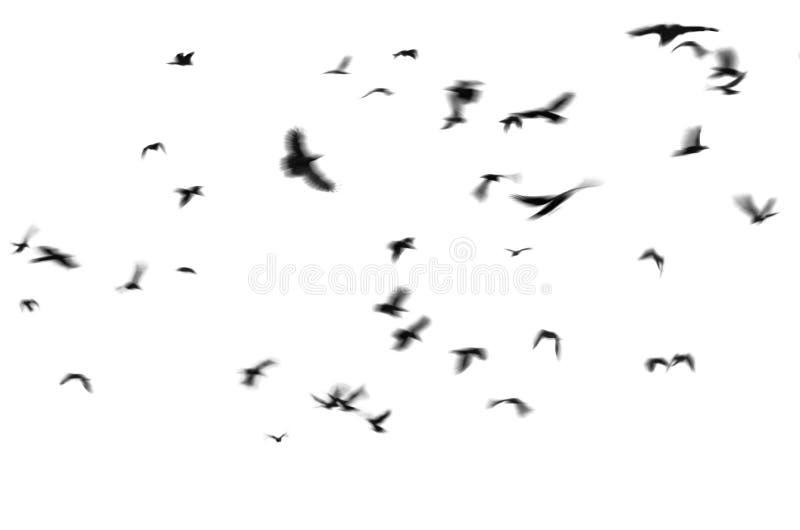 Flying black birds white background stock photo