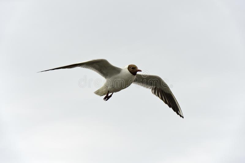 Flying Black-headed gull, North Sea stock image