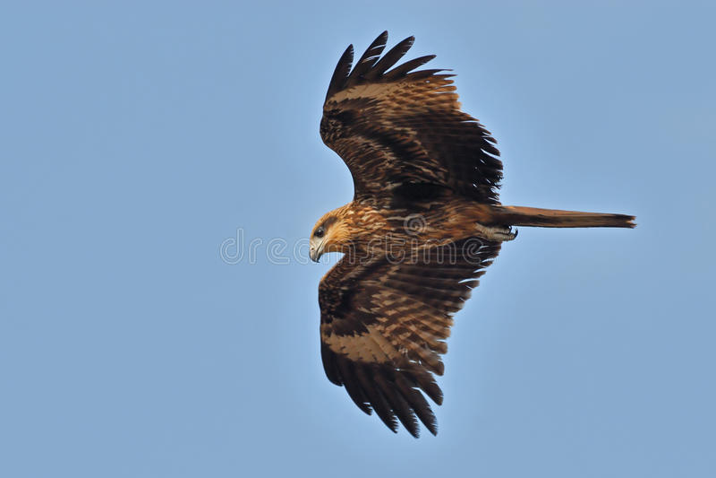 Flying Black Kite in Goa, India royalty free stock photo