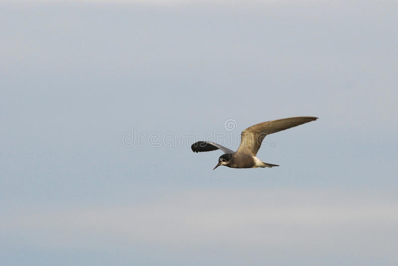 Black Tern. Flying Black Tern in an evening light royalty free stock photo