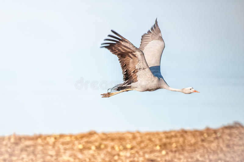 Flying Blue Crane. The Blue Crane, Grus paradisea, is an endangered bird specie endemic to Southern Africa. It is the national bird of South Africa royalty free stock photography