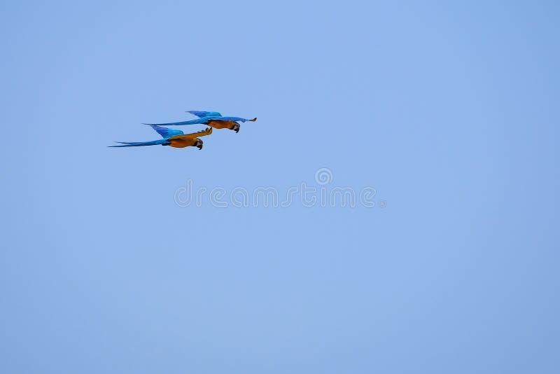 Flying Blue en Gele Arapapegaai, Ara Ararauna, palmlagune Lagoa das Araras, Bom Jardim, Nobres, Mato Grosso, Brazilië stock foto's