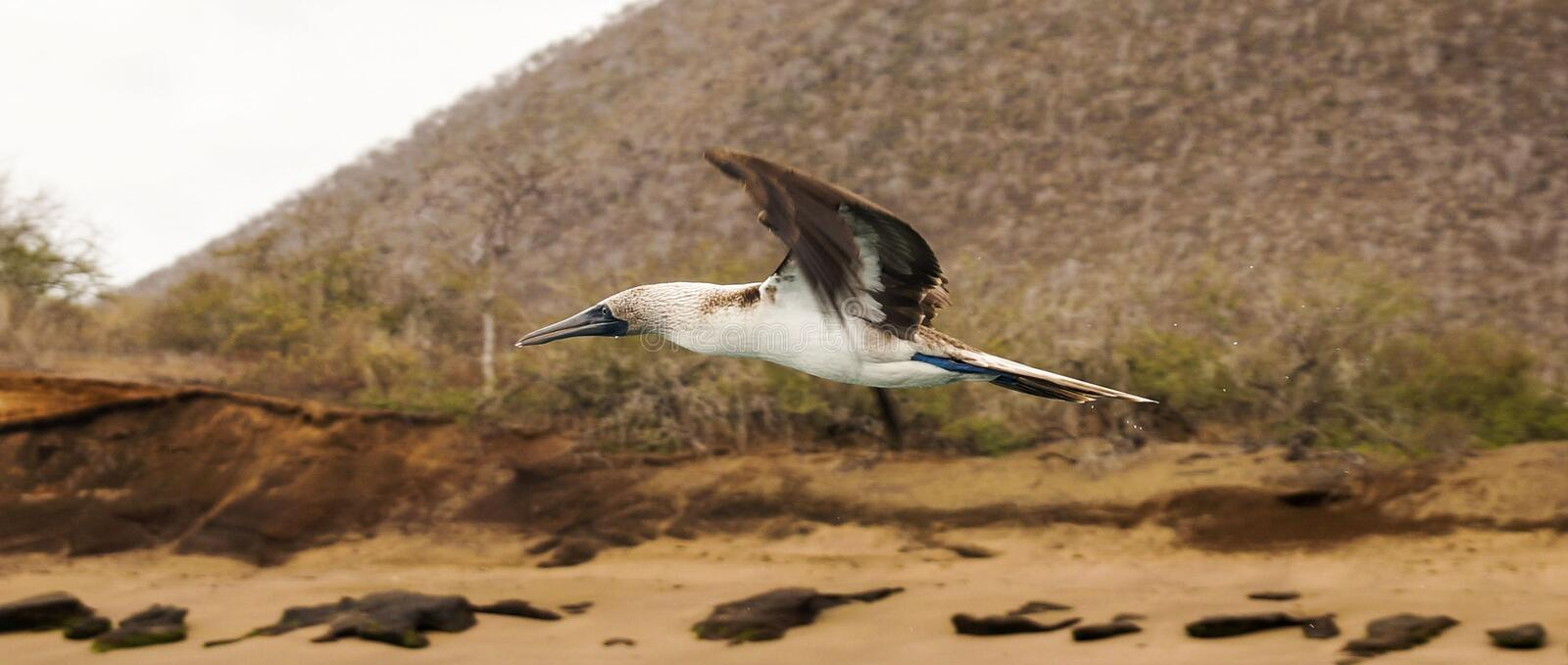 Flying Blue footed booby, Galapagos Islands. Blue footed booby, Galapagos Islands. Flying royalty free stock images