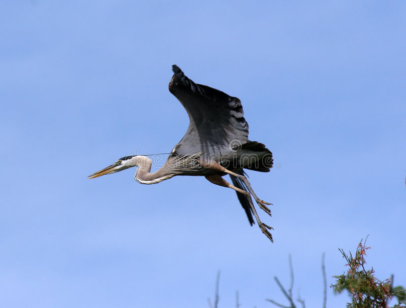 Download Flying Blue Heron Royalty Free Stock Photography - Image: 139407