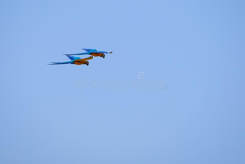 Flying Blue och den gula arapapegojan, Ara Ararauna, gömma i handflatan lagun Lagoa das Araras, Bom Jardim, Nobres, Mato Grosso,  arkivfoton