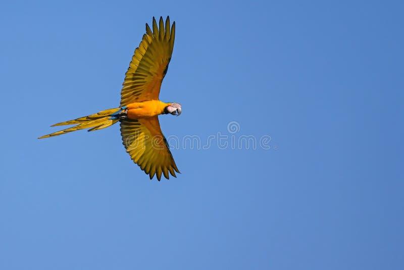 Flying Blue och den gula arapapegojan, Ara Ararauna, gömma i handflatan lagun Lagoa das Araras, Bom Jardim, Nobres, Mato Grosso,  fotografering för bildbyråer