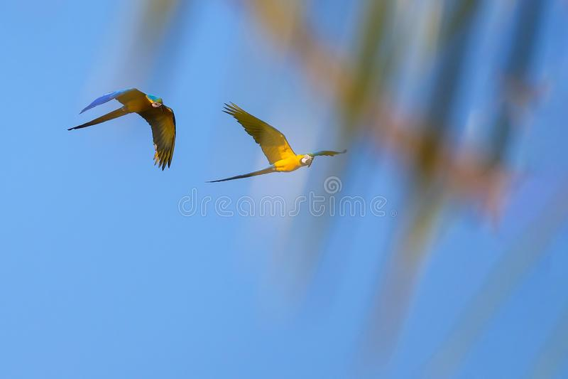 Flying Blue y loro amarillo del Macaw, Ara Ararauna, laguna Lagoa das Araras, Bom Jardim, Nobres, Mato Grosso, el Brasil de la pa foto de archivo libre de regalías