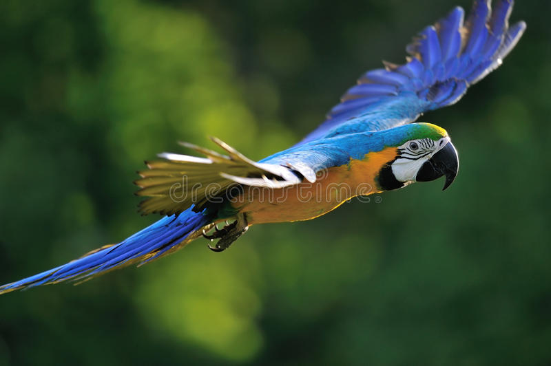 Flying blue-and-yellow Macaw - Ara ararauna. Flying blue-and-yellow Macaw- Ara ararauna from side royalty free stock photo