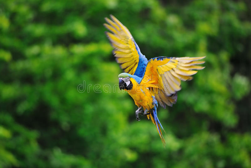 Flying blue-and-yellow Macaw - Ara ararauna. Flying blue-and-yellow Macaw- Ara ararauna with trees in background royalty free stock photography