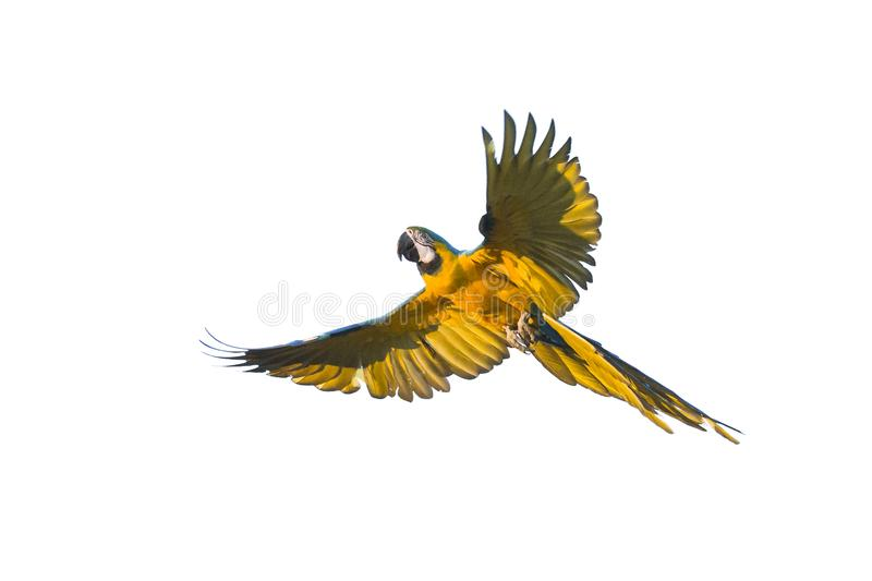 Flying Blue and yellow macaw isolated on white royalty free stock photos