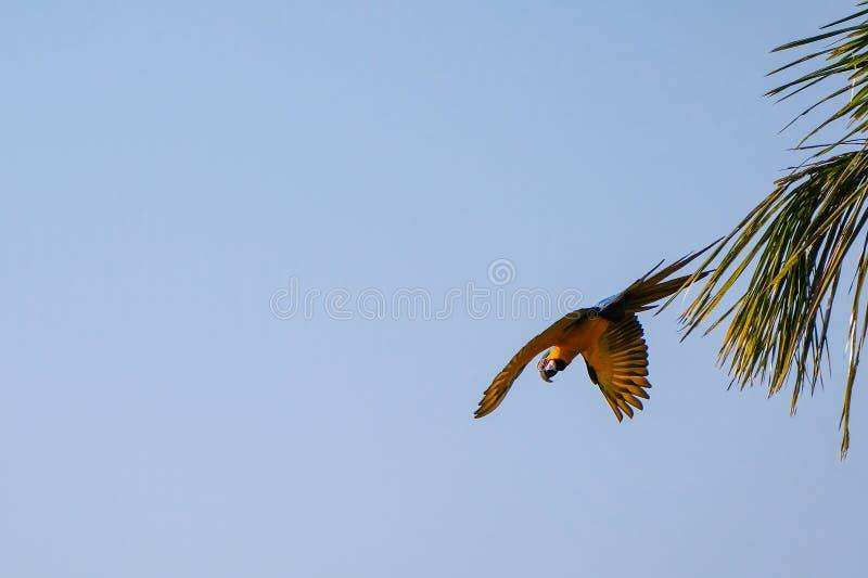 Flying Blue And Yellow Macaw parrot, Ara Ararauna, palm lagoon Lagoa das Araras, Bom Jardim, Nobres, Mato Grosso, Brazil stock image