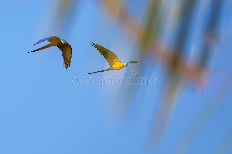 Flying Blue And Yellow Macaw parrot, Ara Ararauna, palm lagoon Lagoa das Araras, Bom Jardim, Nobres, Mato Grosso, Brazil. South America royalty free stock photo