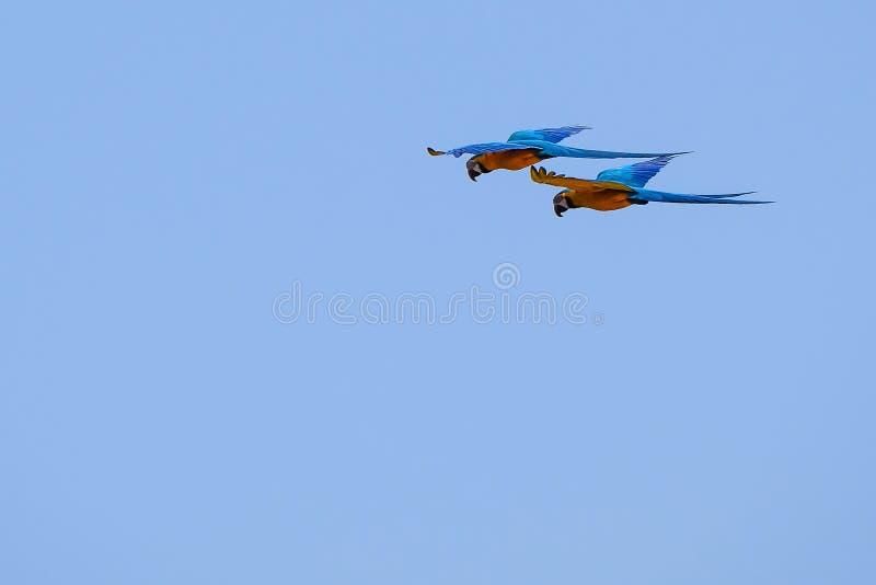 Flying Blue And Yellow Macaw parrot, Ara Ararauna, palm lagoon Lagoa das Araras, Bom Jardim, Nobres, Mato Grosso, Brazil. South America royalty free stock image