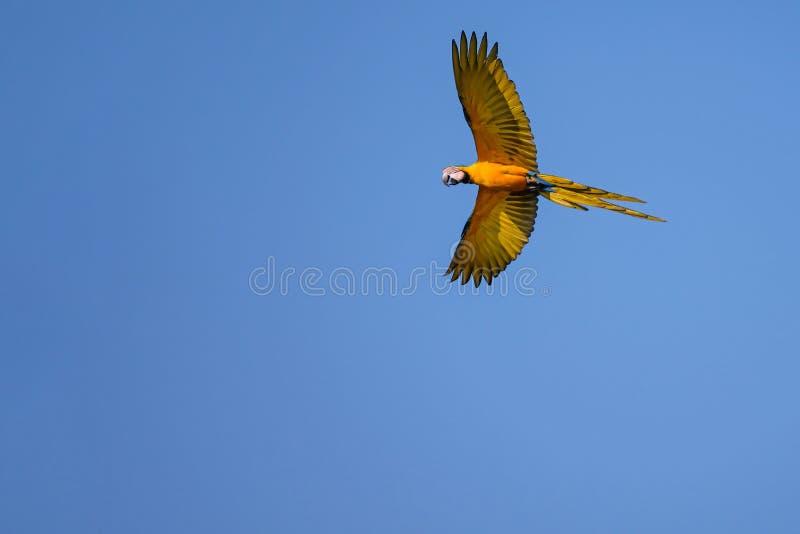 Flying Blue And Yellow Macaw parrot, Ara Ararauna, palm lagoon Lagoa das Araras, Bom Jardim, Nobres, Mato Grosso, Brazil. South America stock photo