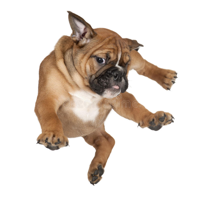 Flying Boxer puppy royalty free stock image
