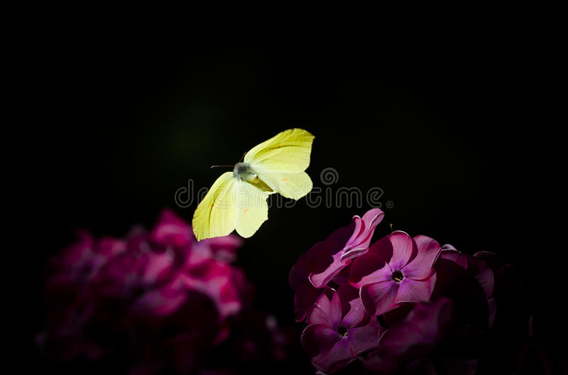 Flying brimstone butterfly stock photography