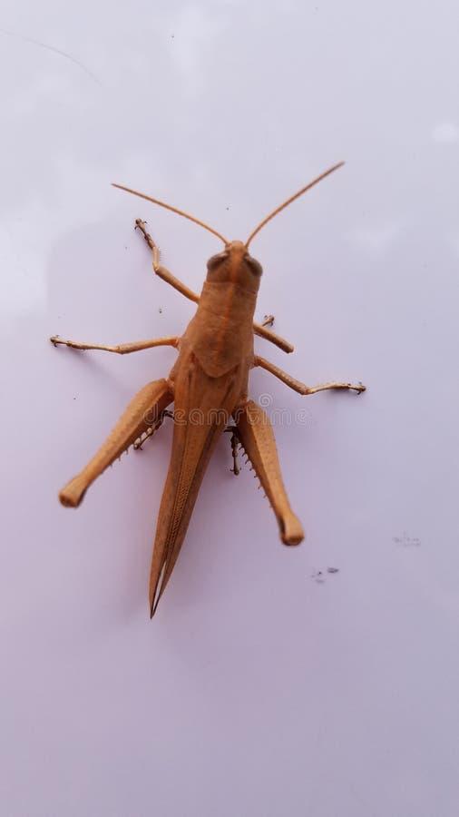 Flying Brown Grasshopper lizenzfreie stockfotos