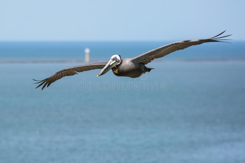 Flying Brown Pelican with blue sky and breakwater in background. royalty free stock photo
