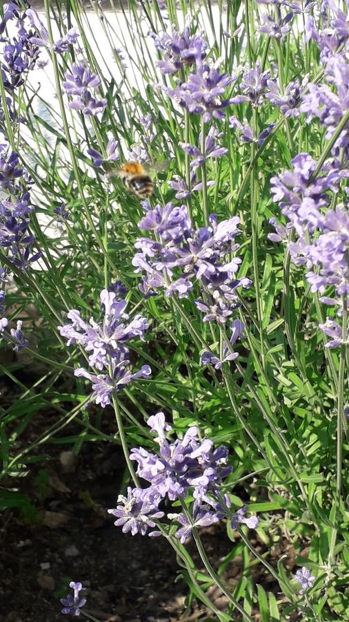 Flying bumble-bee in blooming lavender stock images