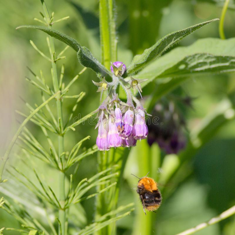 Free Flying Bumblebee Bombus Pascuorum Royalty Free Stock Image - 115951996