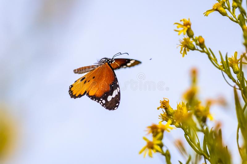 Flying butterfly Plain tiger in flower field royalty free stock image
