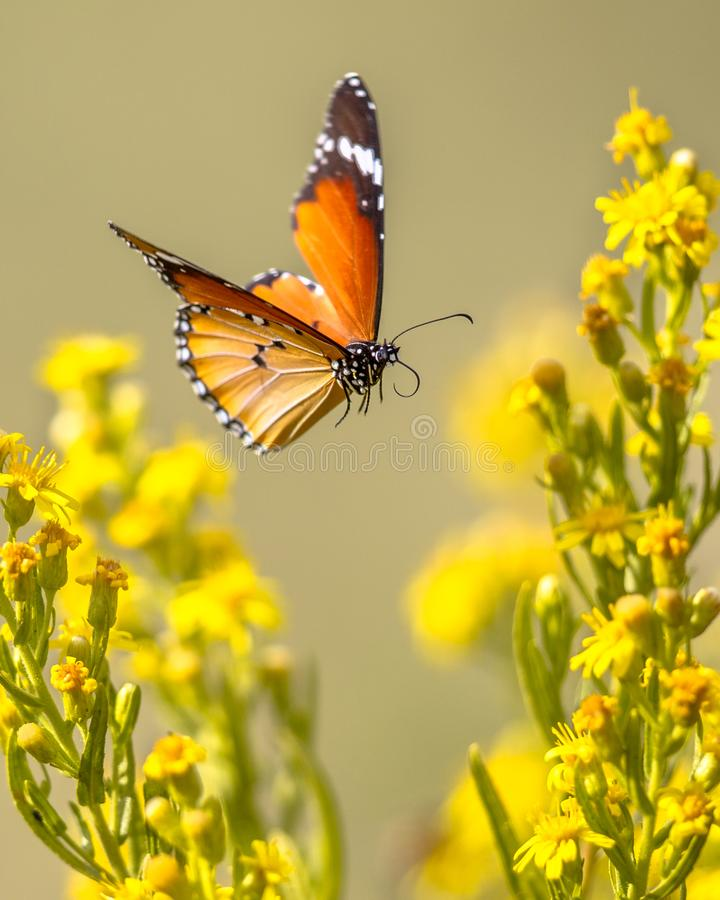 Flying butterfly Plain tiger between flowers royalty free stock images