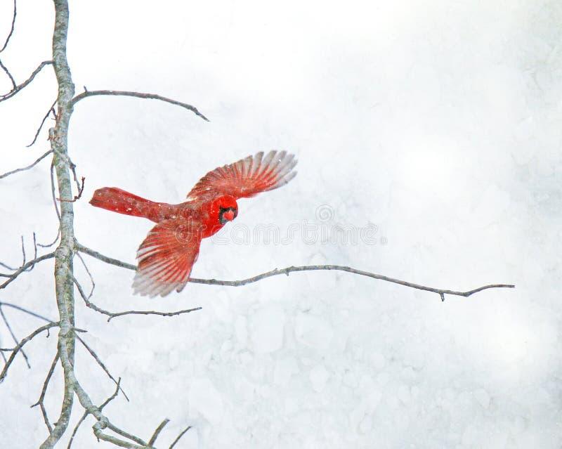 Flying cardinal vermelho na neve imagem de stock