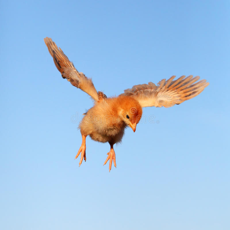 Download Flying chicken. stock photo. Image of chicken, fear, fluffy - 18288922