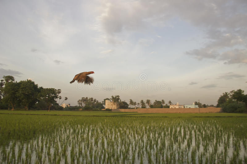 Flying Chicken stock photography