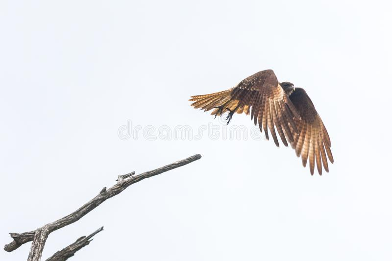 Flying Chimango caracara isolated on a white background stock photography
