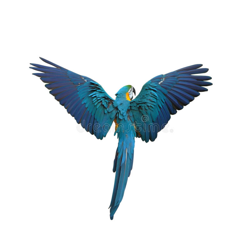 Flying colorful plumage parrot isolated on white stock photography
