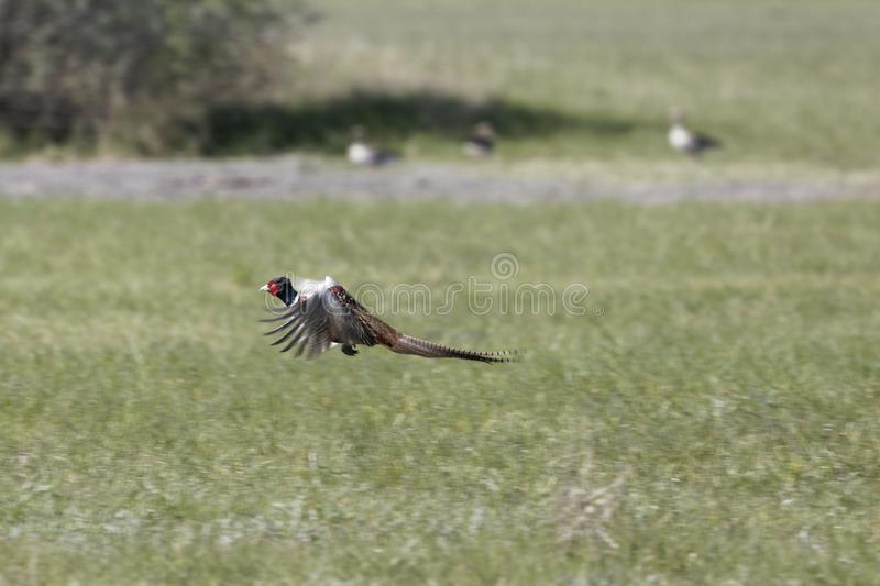 Flying  common pheasant Phasianus colchicus stock images