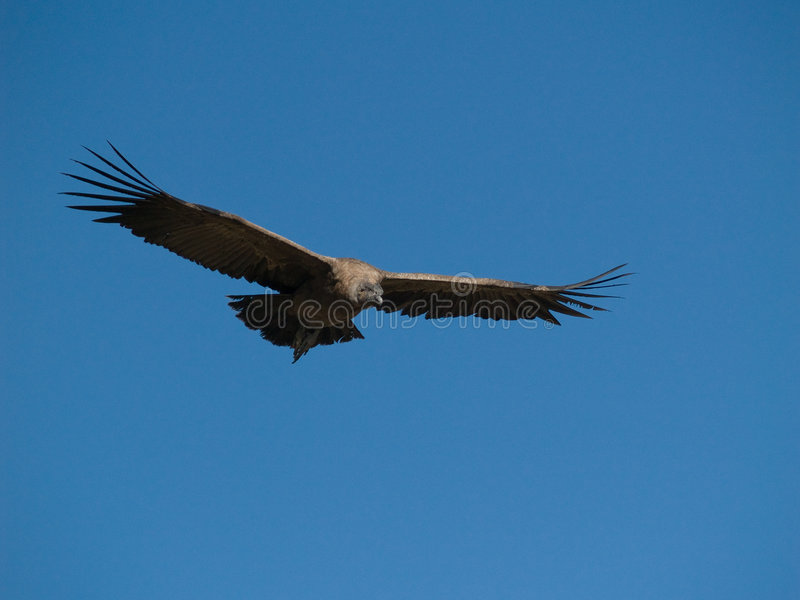 Download Flying Condor In The Colca Canyon Stock Image - Image: 3819161