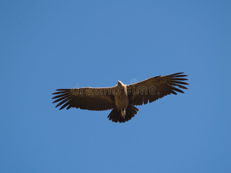 Download Flying Condor In The Colca Canyon Stock Image - Image: 3840031